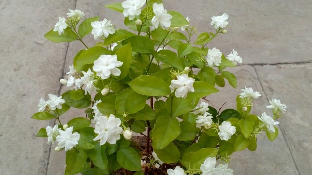 Keep Jasmine Plant in Your Room. It Reduces Anxiety, Panic Attacks and Depression 1