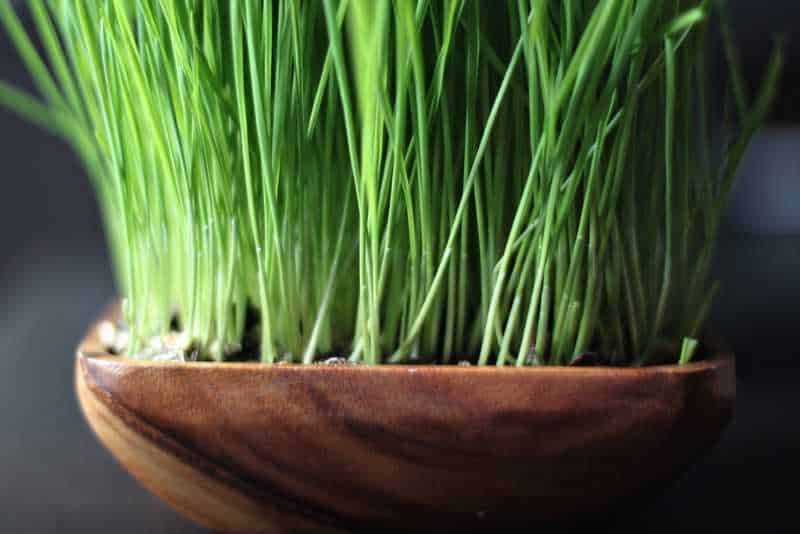 Wheat grass - Longevity Foods
