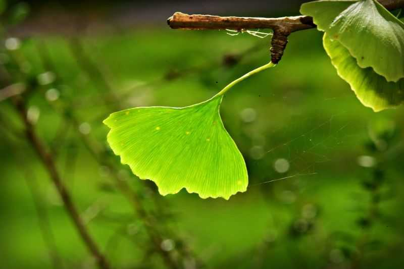 ginkgo-biloba foods to eat to live longer
