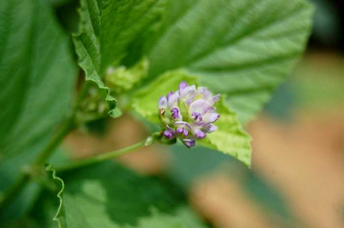 Close up picture of Bakuchi plant with flower