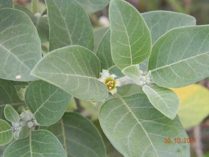 Ashwagandha Health Benefits - Withania somnifera