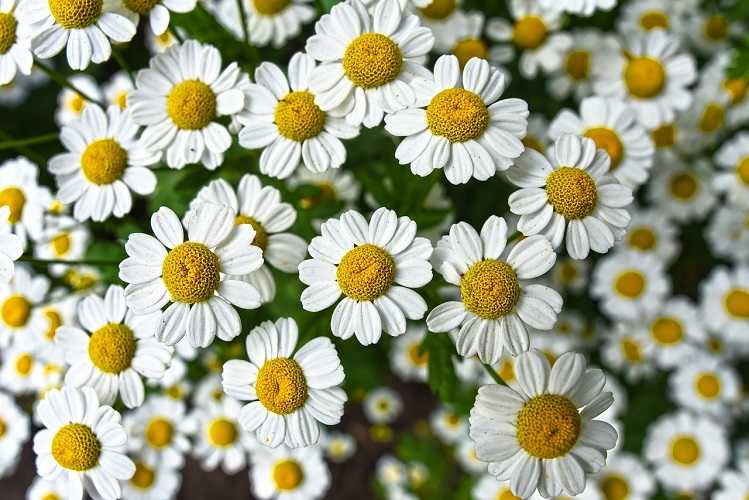 a close up of chamomile flowers