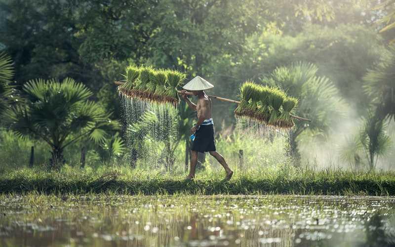asian man harvesting rice