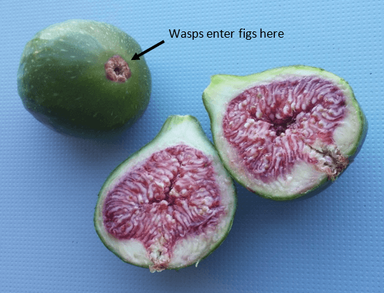 Are figs vegan - Figs