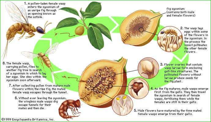 Are Figs Vegan - Representation of the lifecycle of the wasp