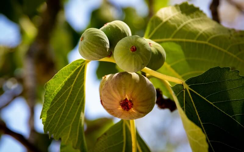 figs-on-a-tree