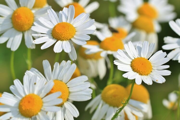 Image of Chamomile Flowers