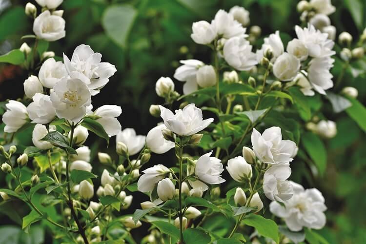Image of Jasmine Flowers
