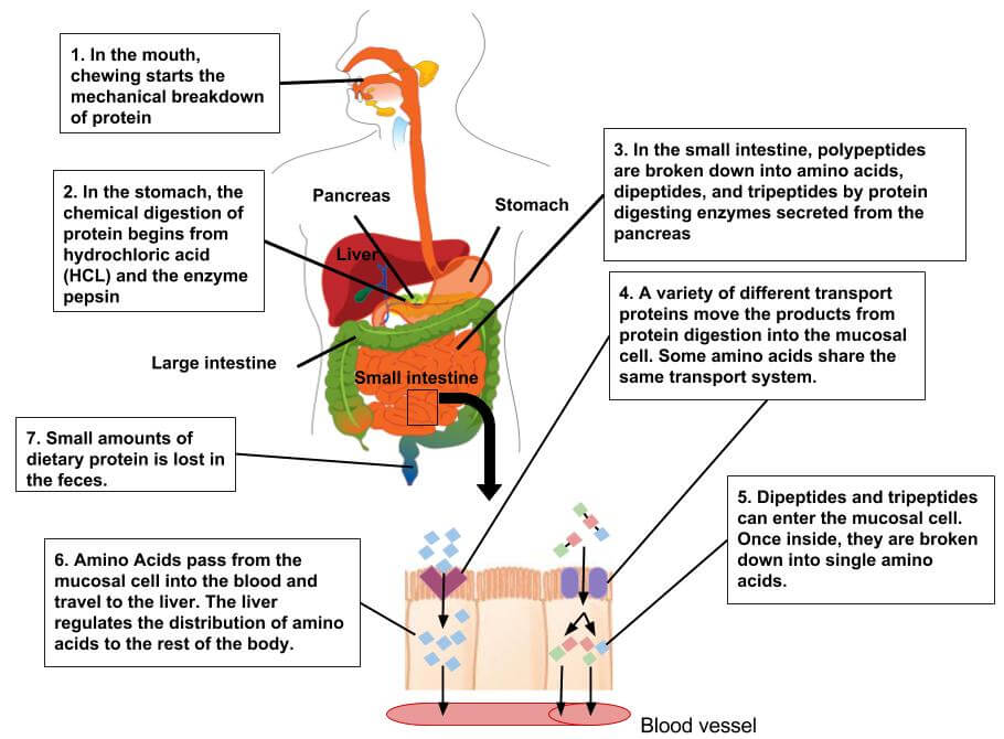 how food is processed by our bodies
